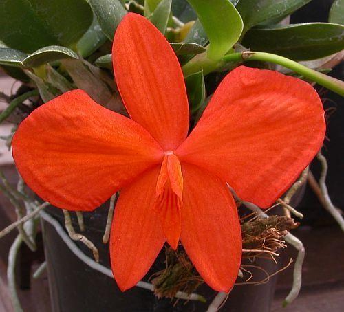 Sophronitis mantiquerae orchids seeds