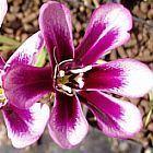 Sparaxis grandiflora ssp grandiflora