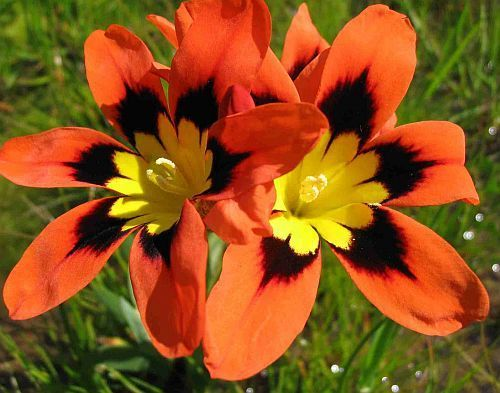 sparaxis tricolor harlequin flower seeds. Black Bedroom Furniture Sets. Home Design Ideas