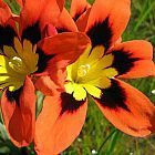 Sparaxis tricolor Zigeunerblume Samen