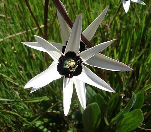 Spiloxene capensis white golden star seeds