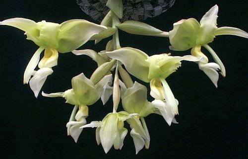 Stanhopea inodora green orchid seeds
