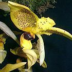 Stanhopea inodora green with dark eye spot, orchid seeds