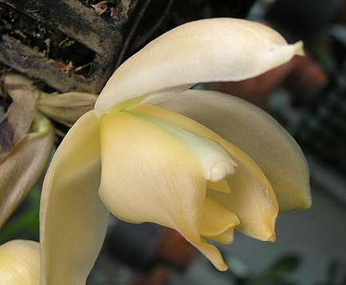 Stanhopea triconis orchids seeds
