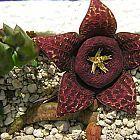Stapelia variegata Seestern Kaktus Samen