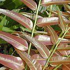 Stenochlaena palustris  cемян
