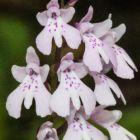 Stenoglottis linearis Orchidee Samen