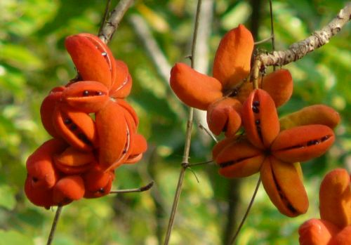 Sterculia villosa Hairy Sterculia - Elephant rope tree seeds