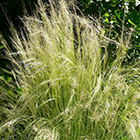 Stipa capillata Bridal Veil Steingarten Samen