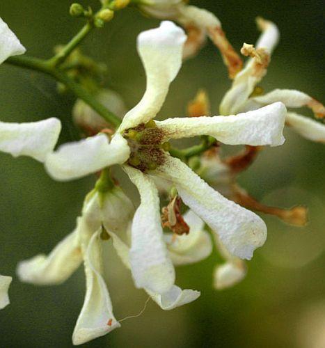 Stomatostemma monteiroae caudiciform seeds