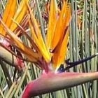 Strelitzia juncea Paradiesvogelblume Samen