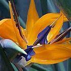 Strelitzia reginae semillas flor del pájaro del paraíso