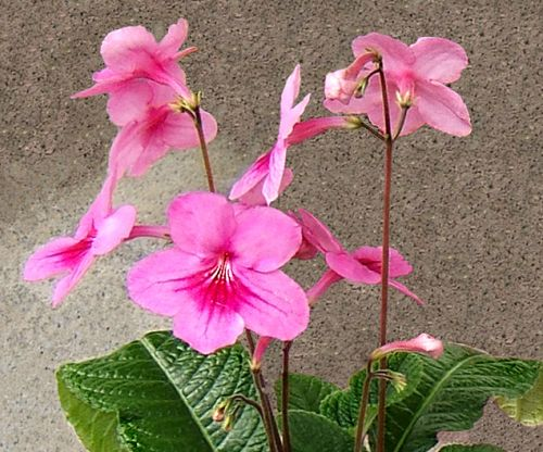 Streptocarpus daviesii Cape primrose - Red nodding bells seeds