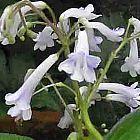 Streptocarpus grandis
