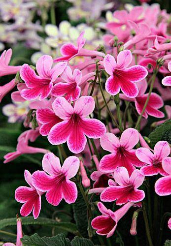 Streptocarpus mix Cape primrose seeds