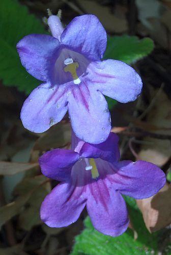 Streptocarpus roseo-albus Cape primrose seeds