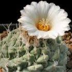 Strombocactus disciformis Kaktus Samen