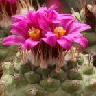 Strombocactus pulcherrimus Kaktus Samen