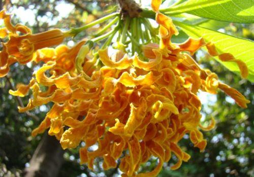 Strophanthus boivinii wood shaving flower seeds