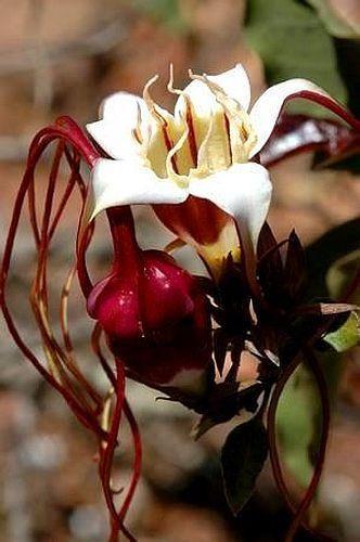 Strophanthus petersianus poison rope seeds