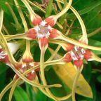 Strophanthus speciosus  cемян