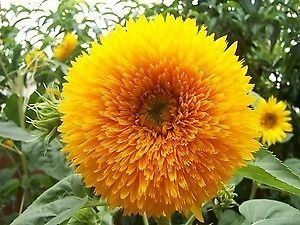 Sunflower Teddy Bear Sunflower Teddy Bear seeds