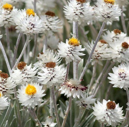 Syncarpha argyropsis white everlasting seeds
