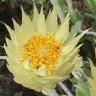 Syncarpha speciosissima Margaritas y parientes semillas