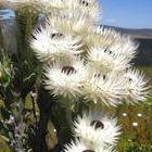 Syncarpha variegata weisse Strohblume Samen