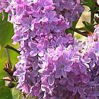 Syringa vulgaris Flieder Samen
