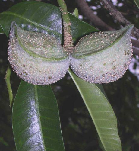 Tabernaemontana elegans Toad tree seeds