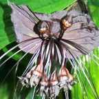Tacca Chantrieri Black schwarze Fledermausblume - Teufelsblume Samen
