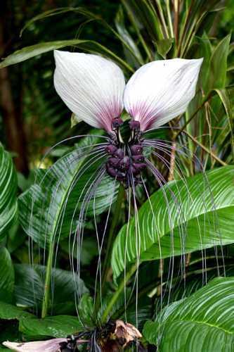Tacca nivea Tacca nivea white seeds