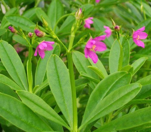 Talinum paniculatum Jewels of Opar seeds