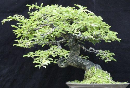 Tamarindus indica Tamarind seeds