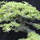 Tamarindus indica Tamarinier graines