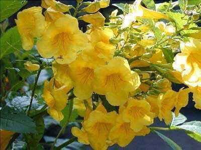 Tecoma stans yellow trumpet tree seeds