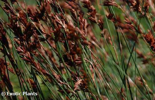 Thamnochortus insignis Thatching reed seeds