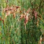 Thamnochortus insignis Restio graines