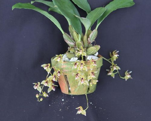 Thecopus secunda orchid seeds