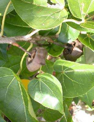 Thespesia populnea portia tree seeds