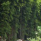 Thyrsostachys oliveri  cемян
