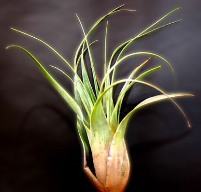 Tillandsia makoyana Bromeliaceae seeds