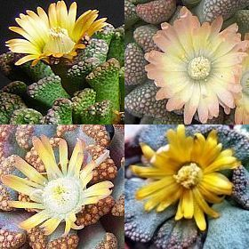 Titanopsis mixed Succulent seeds