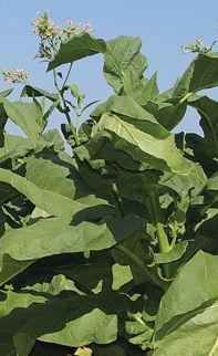 Tobacco Connecticut Broadleaf Cigar Varieties seeds