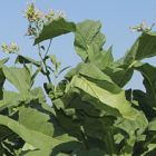 Tobacco Connecticut Broadleaf