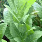 Tobacco Havana 608  semillas