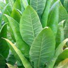 Tobacco Moldovan 456  semillas