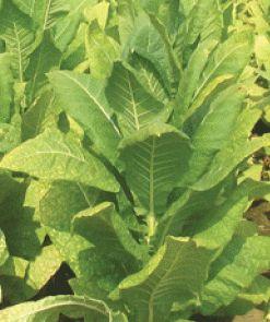 Tobacco Virginia Bright Leaf Bright Leaf Varieties seeds
