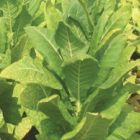 Tobacco Virginia Bright Leaf
